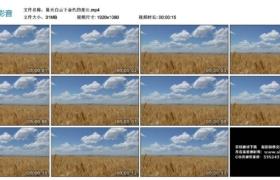 【高清实拍素材】蓝天白云下金色的麦田