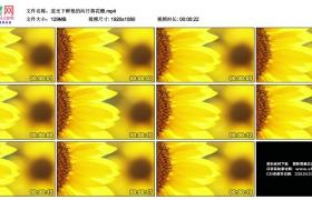 高清实拍视频丨逆光下鲜艳的向日葵花瓣