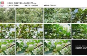 高清实拍视频素材丨果园里苹果树上未成熟的青苹果