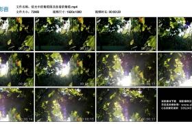 高清实拍视频丨炫光中的葡萄园及挂着的葡萄