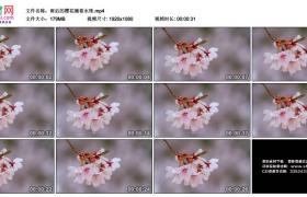 高清实拍视频素材丨雨后的樱花滴着水珠