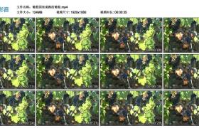 高清实拍视频丨葡萄园里成熟的葡萄