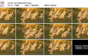 高清实拍视频丨逆光下随风摆动的芦苇