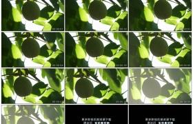 高清实拍视频素材丨特写树枝上挂着的青色核桃