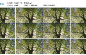 高清实拍视频丨仰拍阳光下的一棵大槐树