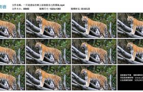 高清实拍视频丨一只老虎站在树上巡视着自己的领地