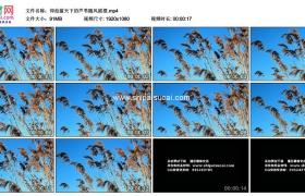 高清实拍视频素材丨仰拍蓝天下的芦苇随风摇摆