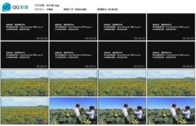 [高清实拍素材]向日葵