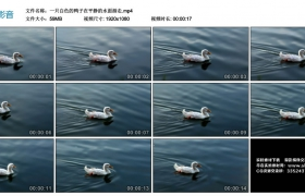 高清实拍视频丨一只白色的鸭子在平静的水面游走