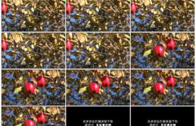 4K实拍视频素材丨摇摄秋天阳光照射下树枝上挂着的红苹果