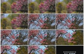高清实拍视频素材丨春天桃树上的盛开着粉红的桃花