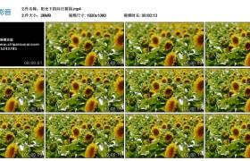 【高清实拍素材】阳光下的向日葵园