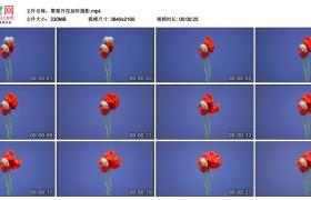 4K视频素材丨罂粟开花延时摄影