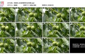 高清实拍视频素材丨核桃树上挂着两颗青色的核桃
