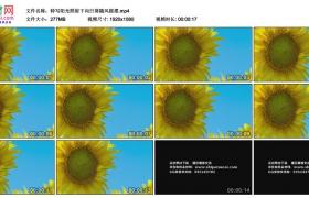 高清实拍视频素材丨特写阳光照射下向日葵随风摇摆