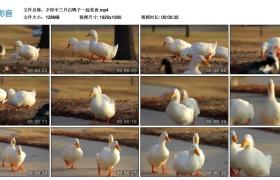 高清实拍视频丨夕阳中三只白鸭子一起觅食