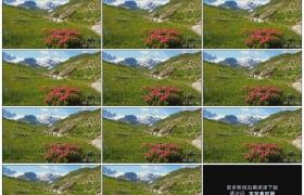 4K实拍视频素材丨高原景观 山地 杜鹃花 雪山和溪流
