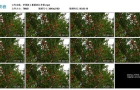 4K视频丨苹果树上累累的红苹果