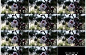高清实拍视频素材丨春天树枝上的桃花随风摆动