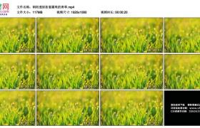 高清实拍视频丨朝阳透射挂着露珠的青草