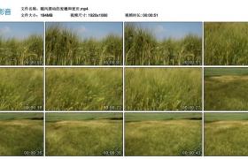 高清实拍视频丨随风摆动的麦穗和麦田