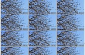 4K实拍视频素材丨早春挂着嫩芽的树枝随风摆动