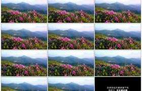 4K实拍视频素材丨移摄高山上的粉色杜鹃花
