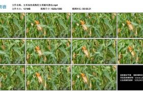 高清实拍视频丨玉米地里成熟的玉米随风摆动