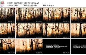 高清实拍视频素材丨移摄夕阳逆光下收获后的玉米秸秆地