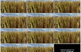 4K实拍视频素材丨即将成熟的麦田里麦穗随风摆动