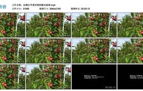 4K视频丨挂满红苹果的果树随风摇摆