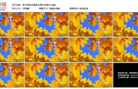 高清实拍视频丨秋天的阳光透射过黄叶的秋叶