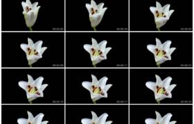 4K实拍视频素材丨特写黑色背景前一朵白色百合花盛开延时摄影