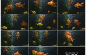 高清实拍视频素材丨金鱼在冒着气泡的鱼缸中游动