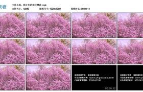 高清实拍视频素材丨粉红色的绚烂樱花