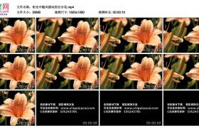 高清实拍视频丨阳光中随风摆动的百合花