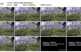 高清实拍视频丨公园草地上的番红花随风摇摆