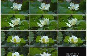 高清实拍视频素材丨特写荷塘里绿色的荷叶和白色的荷花