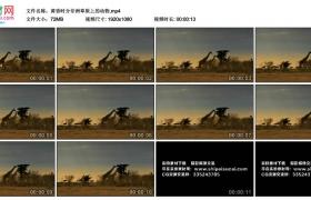 高清实拍视频丨黄昏时分非洲草原上的动物长颈鹿等