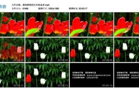 高清实拍视频丨漂亮鲜艳的红色郁金香