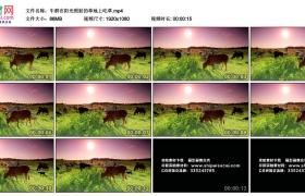 高清实拍视频丨牛群在阳光照射的草地上吃草