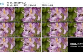 高清实拍视频丨蜜蜂采花蜜特写
