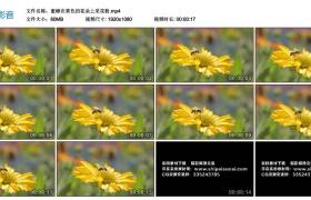 高清实拍视频丨蜜蜂在黄色的花朵上采花粉