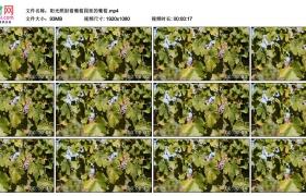 高清实拍视频丨阳光照射着葡萄园里的葡萄