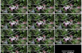 高清实拍视频素材丨特写春天开花的苹果树枝在风中摆动