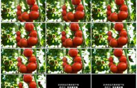高清实拍视频素材丨移摄菜园里挂着的红色西红柿