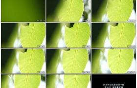 高清实拍视频素材丨摇摄阳光照射着嫩绿的树叶纹理脉络
