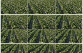 4K实拍视频素材丨摇摄阳光下一大片草莓种植园