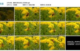 高清实拍视频丨蜜蜂在黄色的花上采花粉