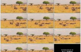 2K实拍视频素材丨一群斑马在草原上吃草